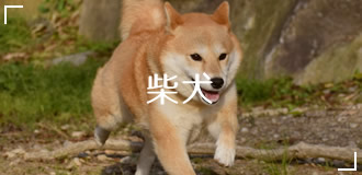ペットフード販売士厳選!柴犬のおすすめドッグフードランキング