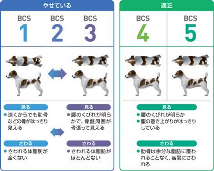 誰でも簡単に犬の肥満レベルを確認できるのが、下記のBCS(ボディコンディションスコア)です。